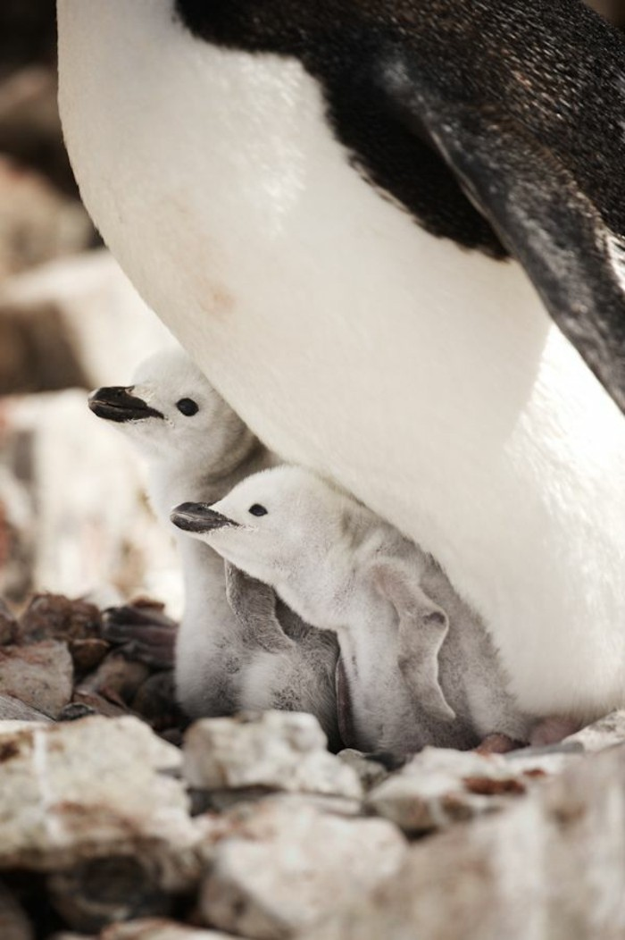 fascinante-difference-entre-manchot-et-pingouin-bebe