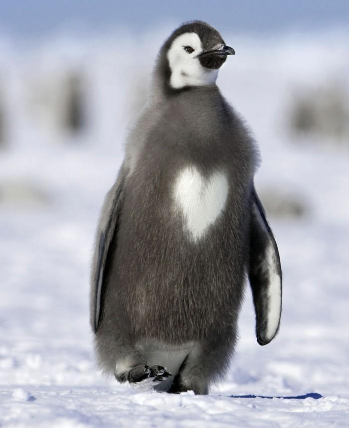 fascinante-difference-entre-manchot-et-pingouin-coeur
