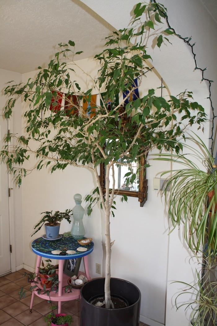 ficus-anti-pollution-formol-plante-depolluante-interieur-assainissante