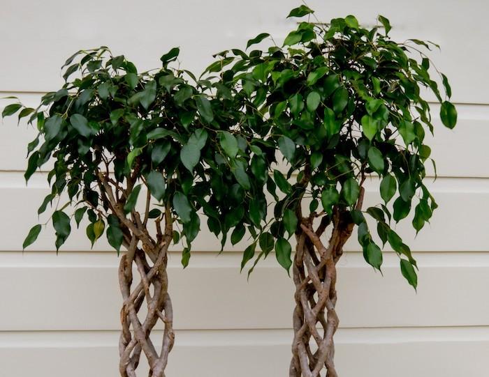ficus-anti-pollution-plantes-depolluantes-assainir-chambre-interieur