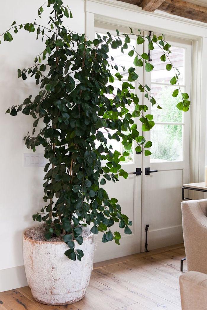 ficus-arbre-plante-depolluante-anti-pollution-appartement-interieur