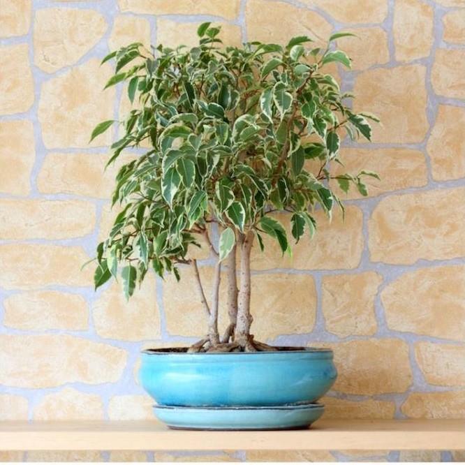 ficus-bonsai-plantedepolluante-interieur-pollution-chambre-bureau-assainir