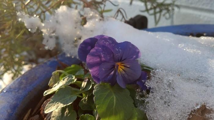 fleur-hiver-viola-violaceae-violette-pensee