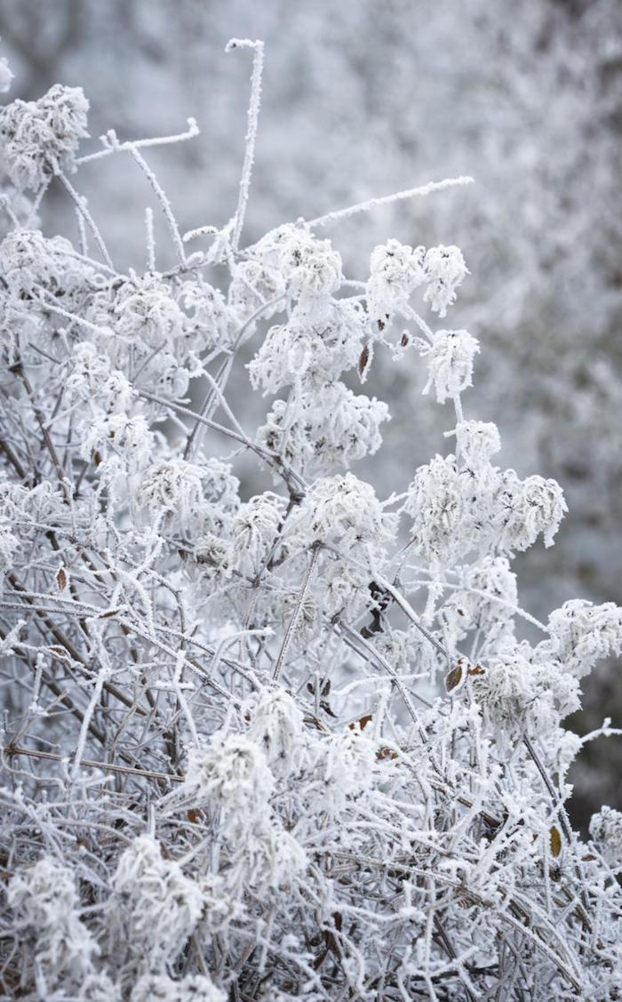 fleurs-hiver-sous-la-neige-clematis-armandii