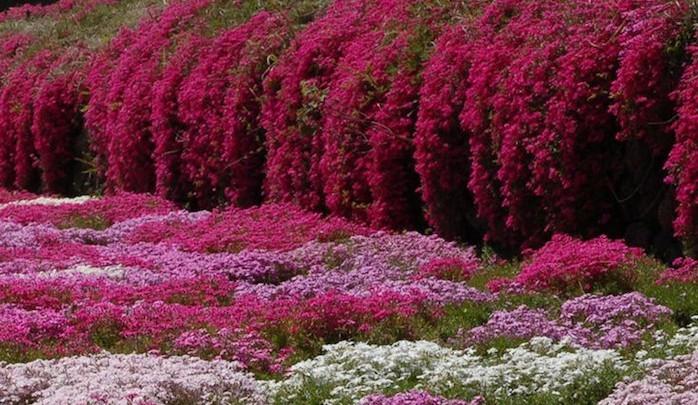 fleurs-recouvrantes-plante-pour-talus-plante-couvre-sol