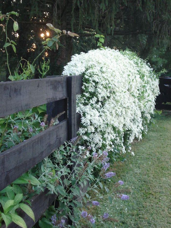 haie-fleuriee-hiver-fleurs-automne-neige-clematis-armandii