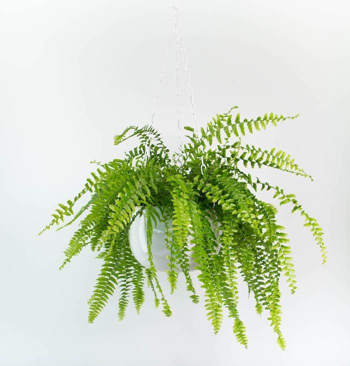 interieur-depolluante-fern-nephrolepis-plante-purifier-air-Fougère-de-Boston-Bostonienis