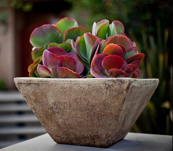kalanchoe-plante-grasse-exterieur-plantes-succulentes-d-interieur-pot