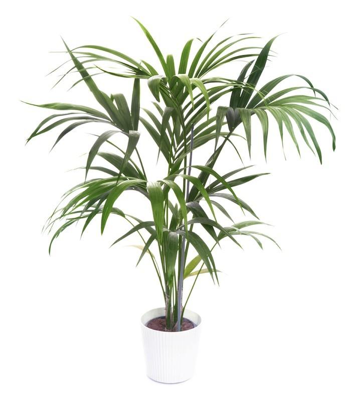 kentia-plante-appartement-bureau-depolluante-anti-pollution-purifiante
