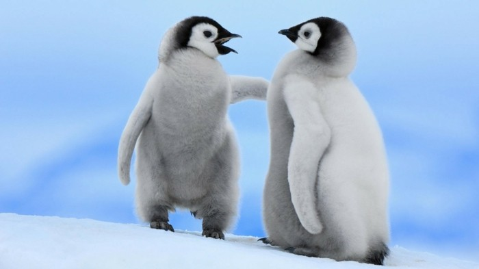 les-pingouins-volent-pas-manchot-adelie-cool-phoyo
