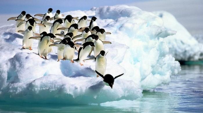 les-pingouins-volent-pas-manchot-adelie-saute-dans-l-eau
