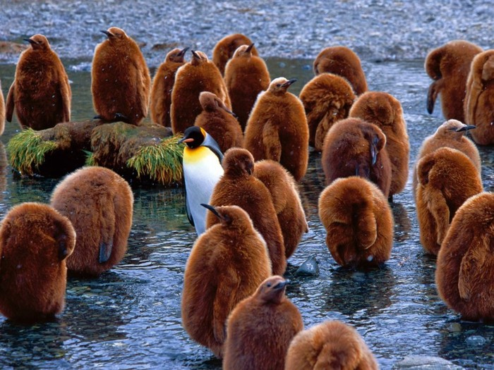 les-pingouins-volent-pas-manchot-adelie-superbe-photo-de-manchot-manchot-adelie