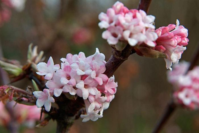 les-viornes-viburnum-x-bodnantense-plante-hiver-fleurs-d-hiver