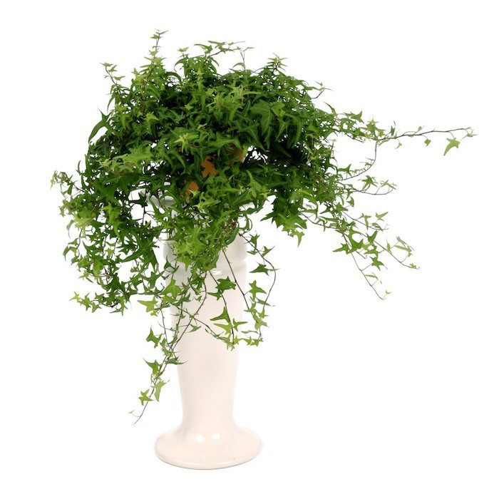 lierre-plantes-depolluantes-interieur-plante-anti-pollution-detoxifiantes-assainir-l-air-chambre-bureau