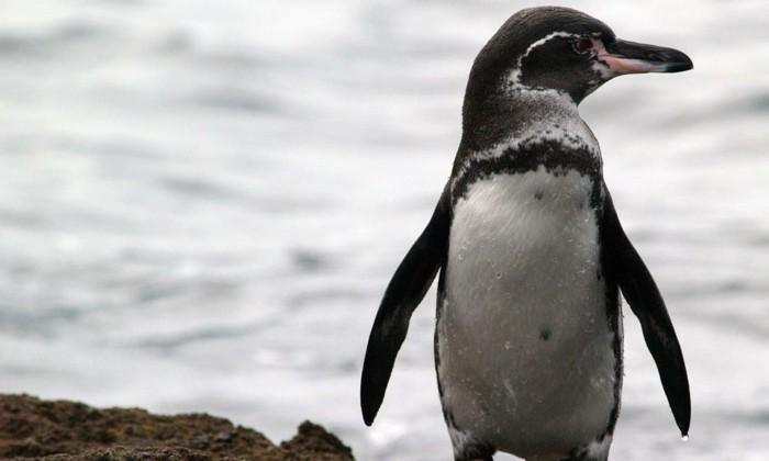 manchot-et-pingouin-manchots-empereur-cool-photo