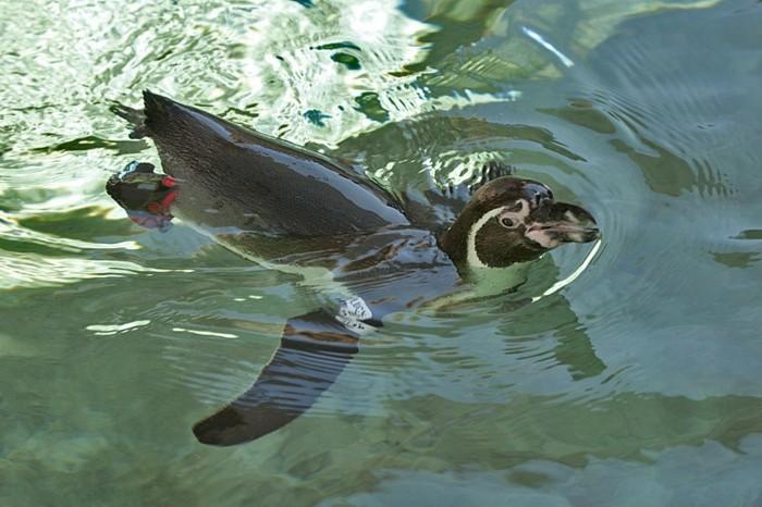 manchot-et-pingouin-manchots-empereur-eau