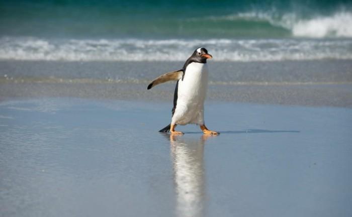 manchot-et-pingouin-manchots-empereur-sur-la-plage