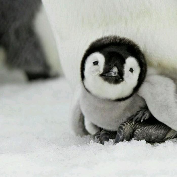 mignon-bebe-manchot-pingouin-empereur-belle-image-trop-mignon