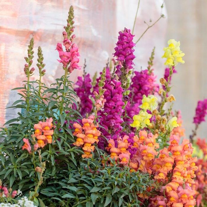 muflier-fleuri-antirrhinum-couleur-plantes-d-hiver