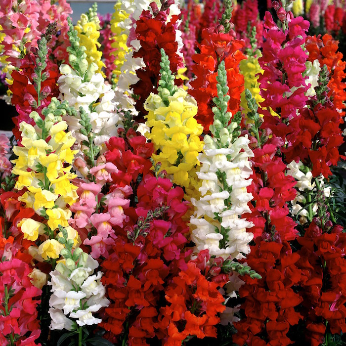 mufliers-antirrhinum-couleurs-fleurs-dhiver