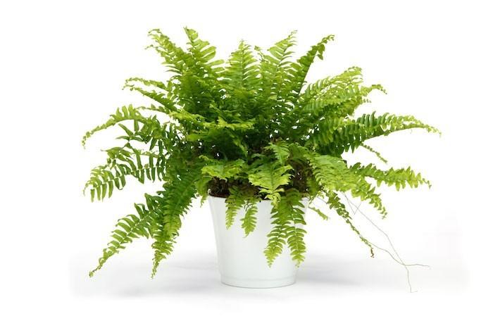 nephrolepis-plante purifiante-intérieur-dépolluante-bureau-purifier-air-Fougère-de-Boston-Bostonienis