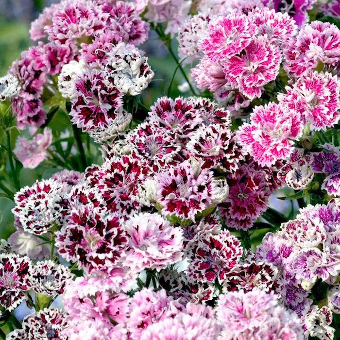 oeillets-dianthus-barbatus-fleurs-hiver