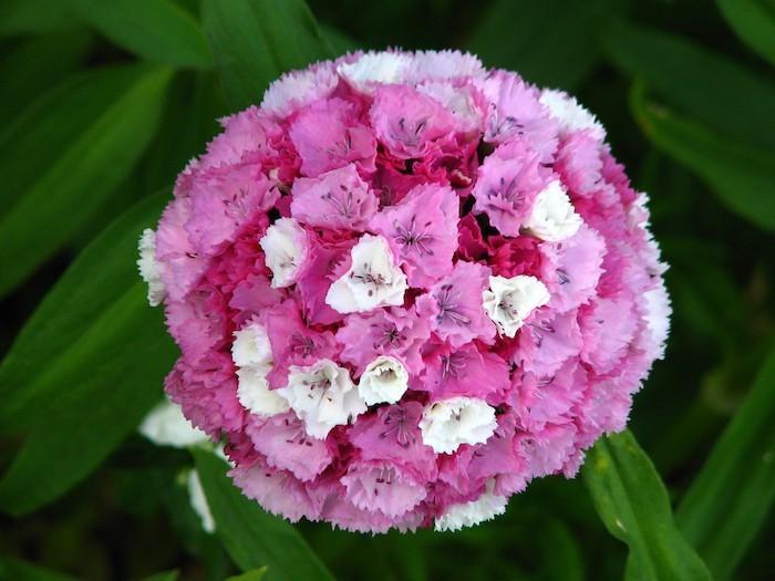 oeillets-fleurs-d-hiver-automne-dianthus-barbatus