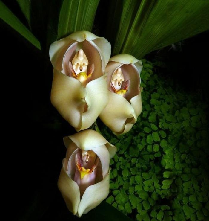 orchidee-rare-bebe-qui-dorment-dans-leurs-berceaux