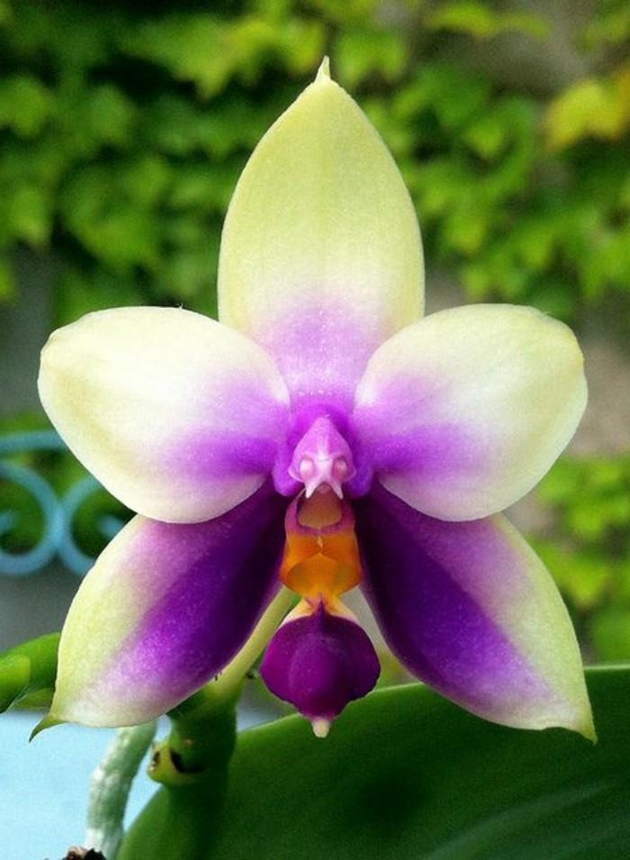 L 39 orchid e rare la plus bizarre ou quand les orchid es - Entretien de l orchidee ...