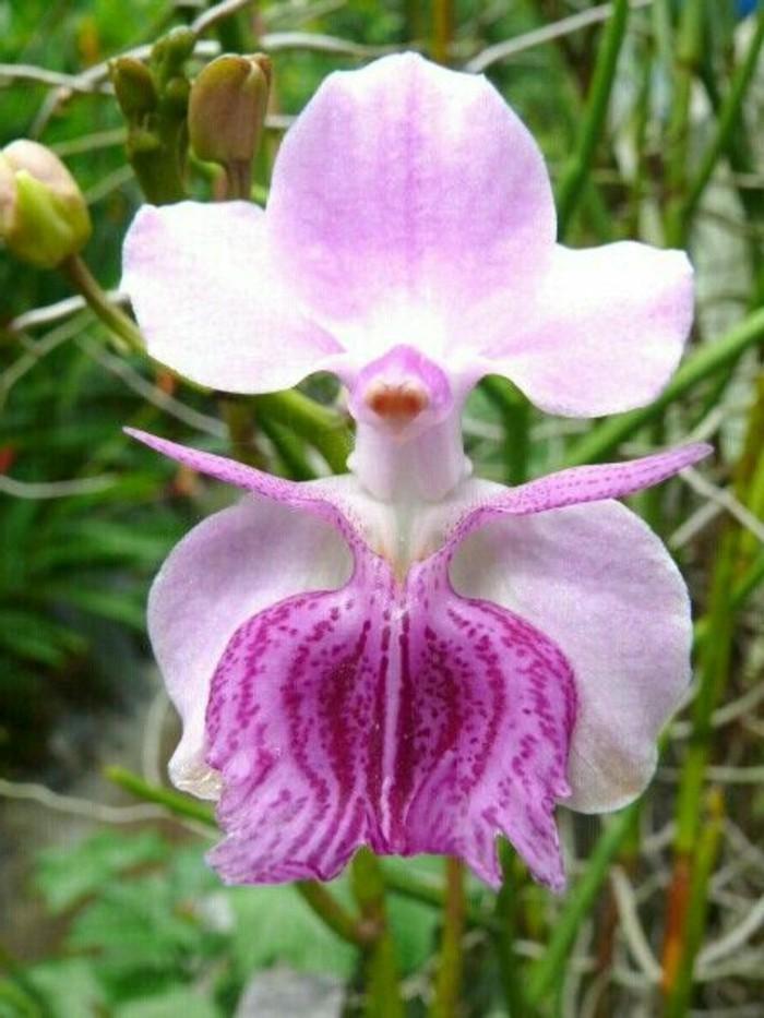 orchidee-rare-espece-dorchidee-unique-orchidee-sauvage
