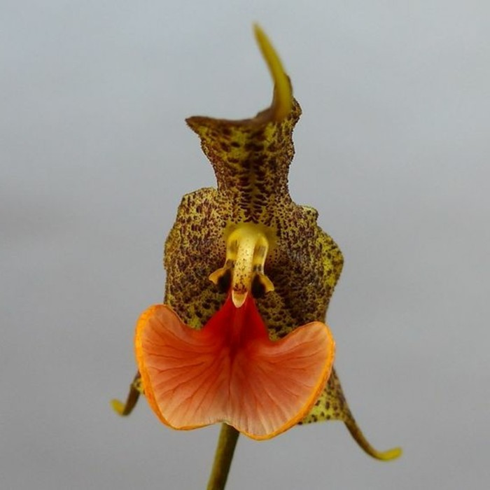 orchidee-rare-mimetisme-des-fleurs-sauvages