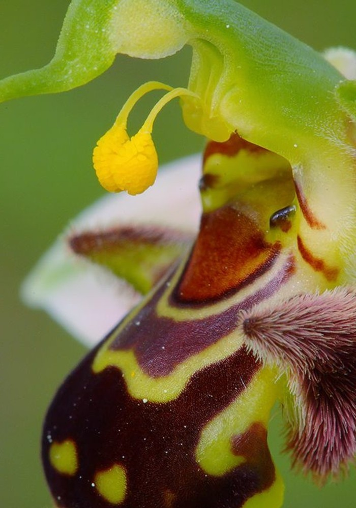 orchidee-rare-orchidee-abeille-ressemblant-a-un-etre-sympathique