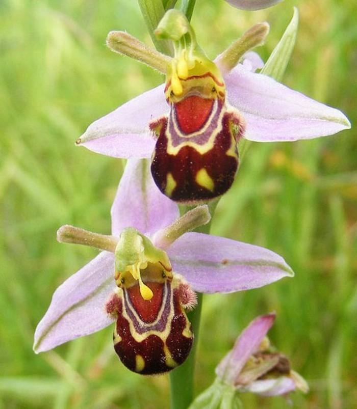 orchidee-rare-orchidee-abeille-rose-mimicrie-des-fleurs
