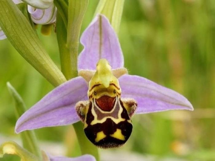 orchidee-rare-orchidee-abeille-une-fleur-sympathique