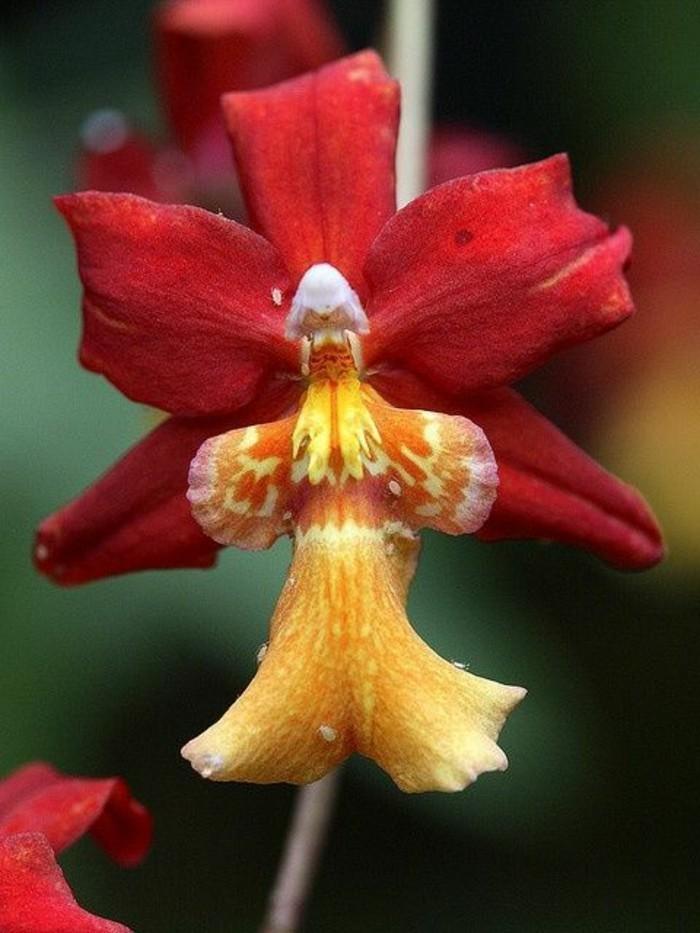 orchidee-rare-orchidee-ange-en-jaune-et-rouge