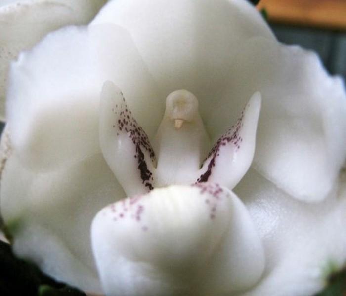 orchidee-rare-orchidee-pigeon-blanche-merveilles-de-la-nature