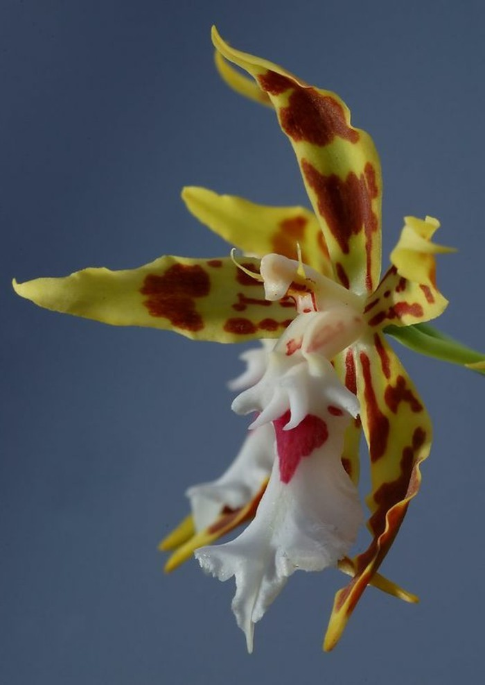 orchidee-rare-orchidee-poulpe-orchidees-qui-semblent-a-animaux