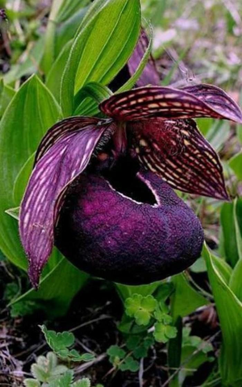orchidee-rare-orchidee-pourpre-le-merveilleux-monde-des-orchidees