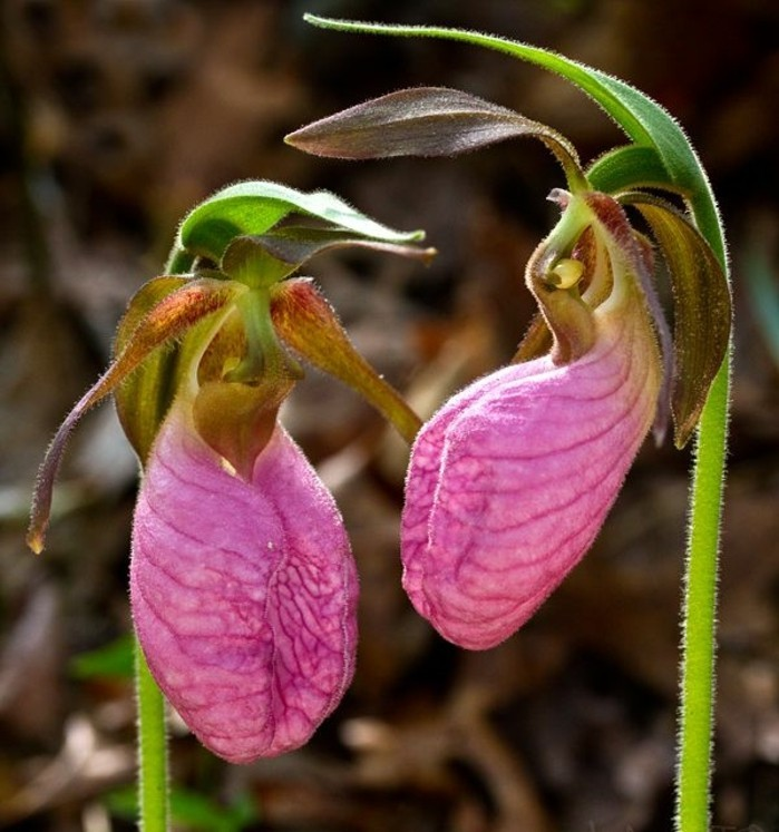 orchidee-rare-orchidees-qui-provoquent-limagination