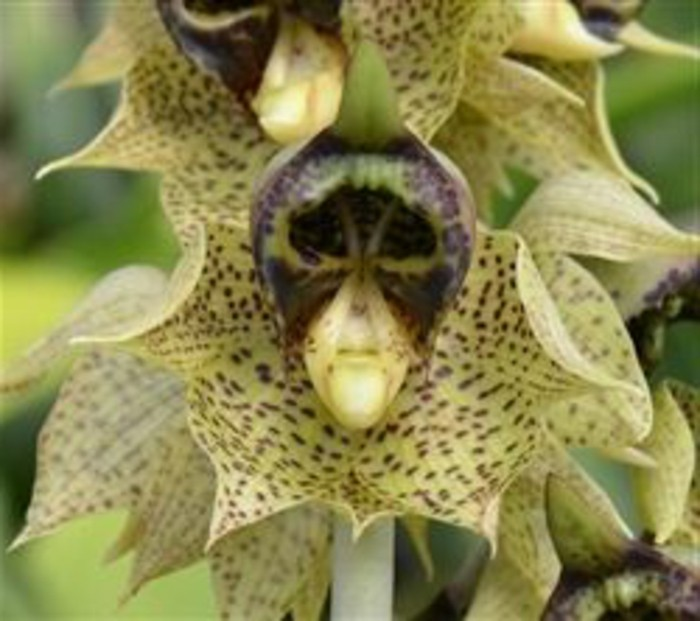 orchidee-rare-orchidee-singe-orchidees-phantastiques