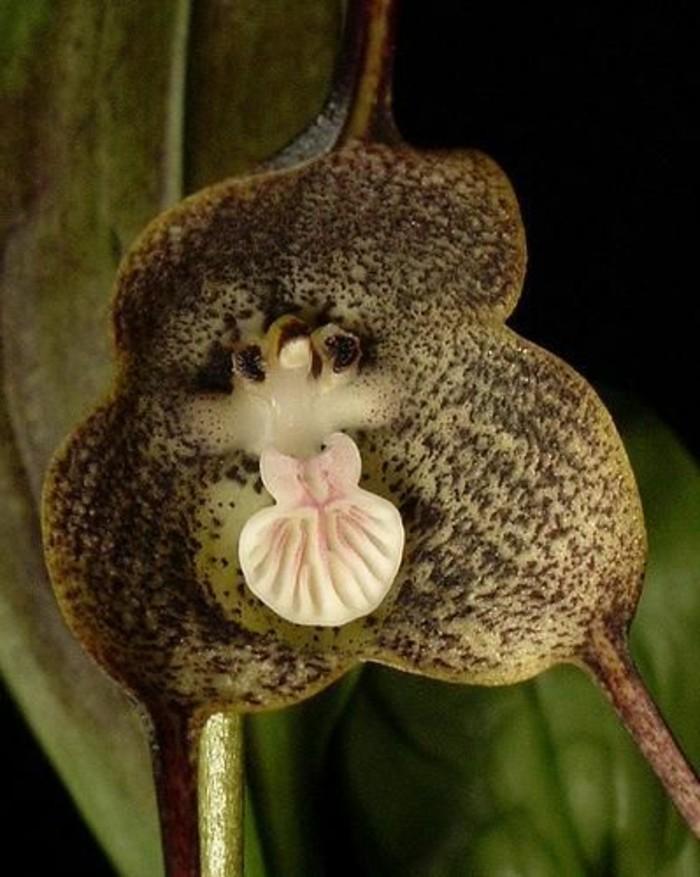 orchidee-rare-orchidee-tete-de-singe-especes-dorchidees-bizarres