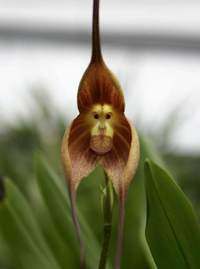 orchidee-rare-orchidee-tete-de-singe-orchidees