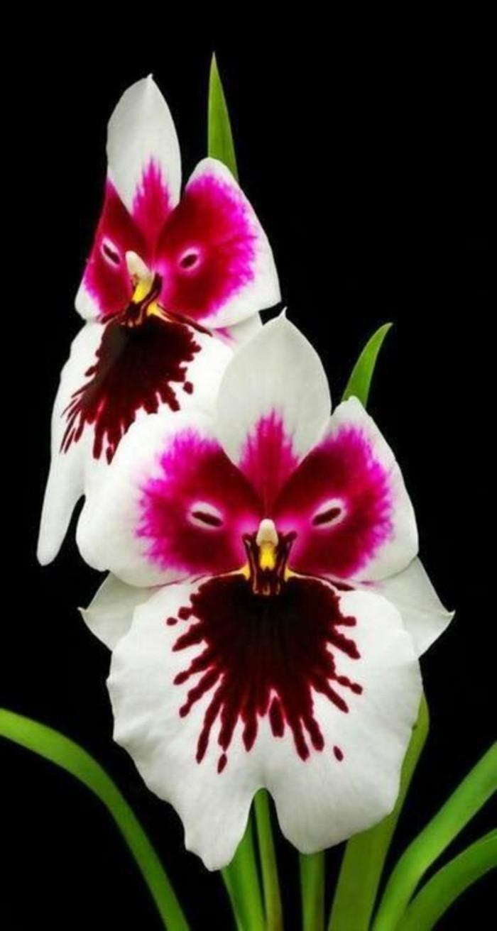 l 39 orchid e rare la plus bizarre ou quand les orchid es imitent la vie. Black Bedroom Furniture Sets. Home Design Ideas