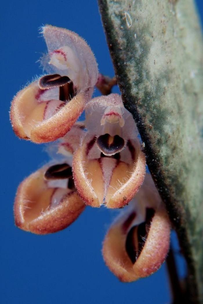 orchidee-rare-orchidees-phenomenales-du-monde