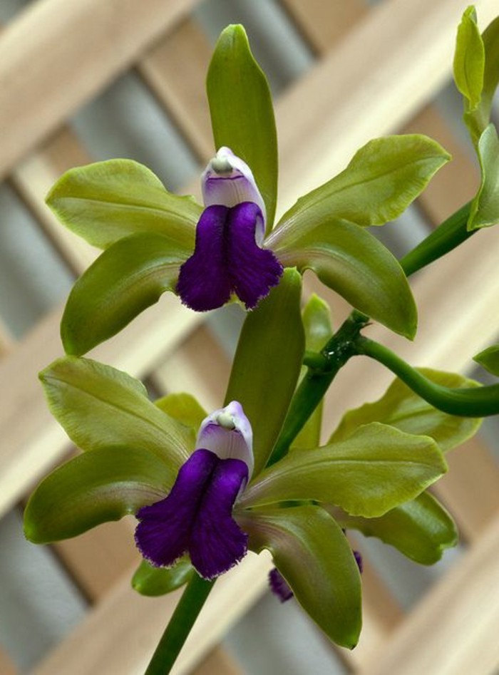 orchidee-rare-orchidees-sauvages-fantastiques