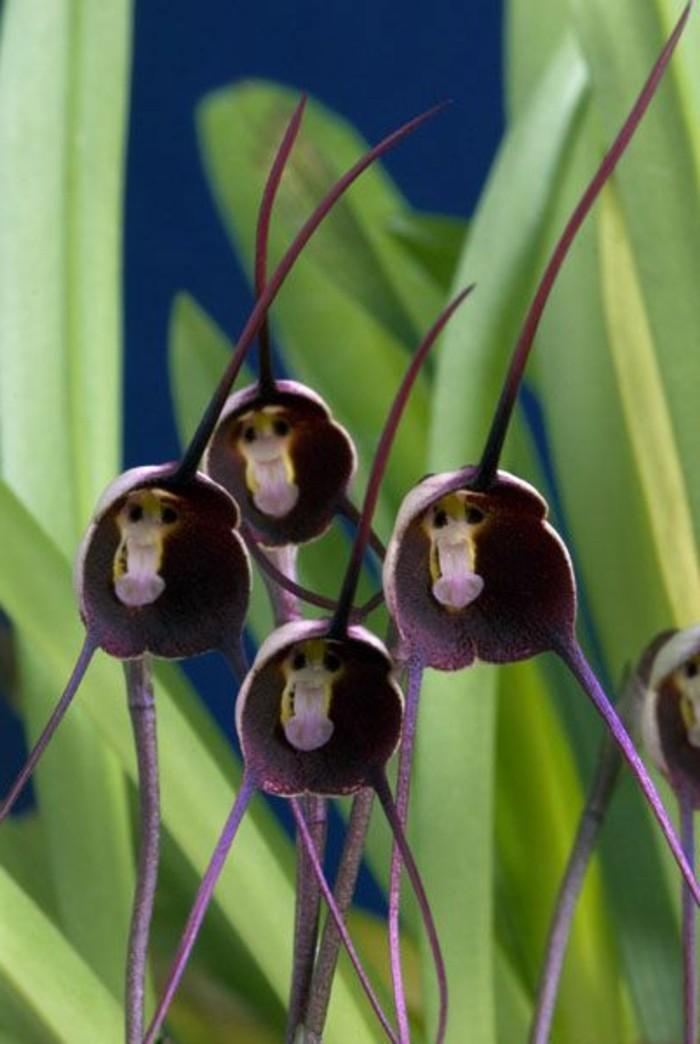 orchidee-rare-orchidees-tetes-de-singes-les-fleurs-bizarres