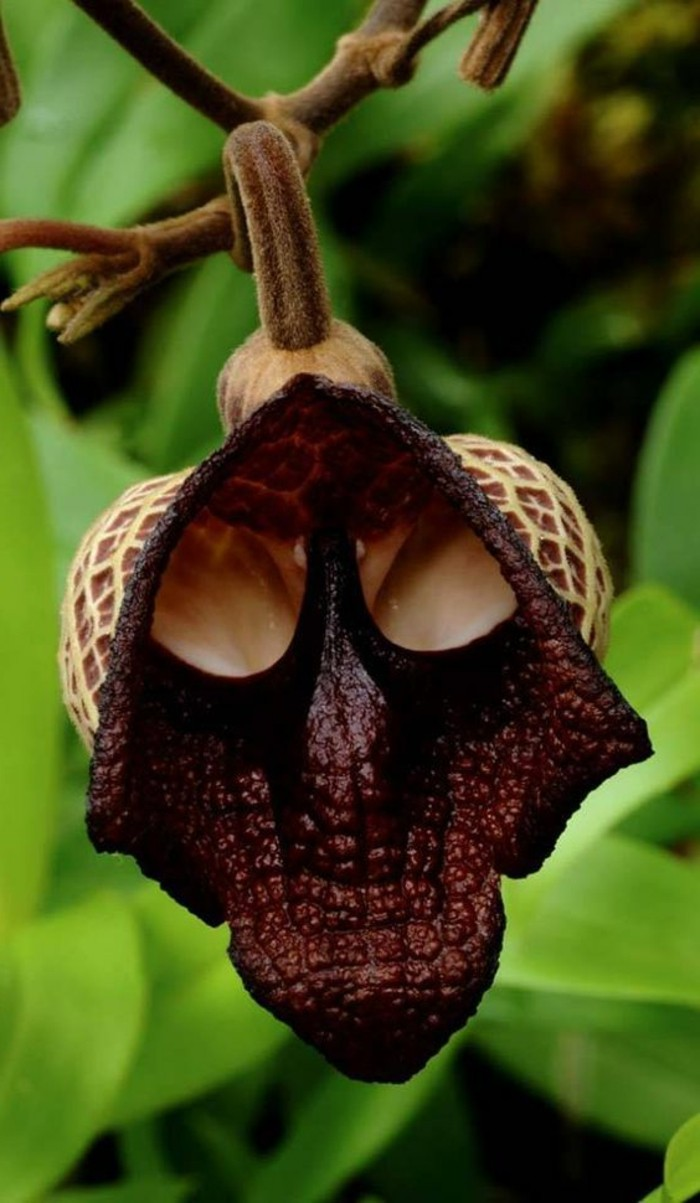 orchidee-rare-une-orchidee-sinistre-orchidees-merveilleuses