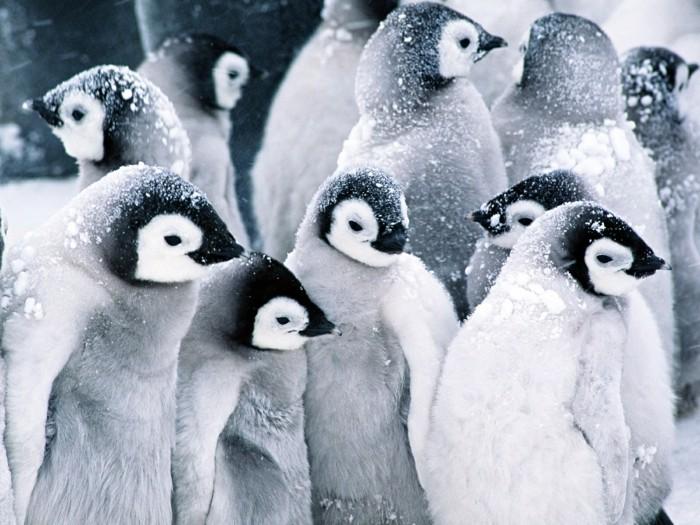ou-vivent-les-pingouins-petit-manchot-bebes-sur-la-neige