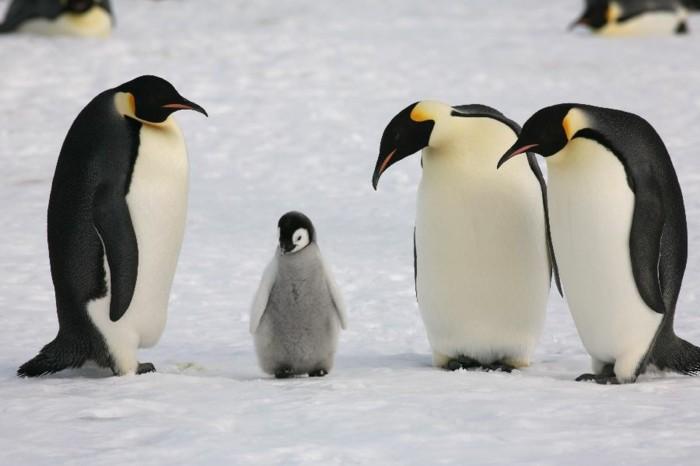 ou-vivent-les-pingouins-petit-manchot-grands-et-petits