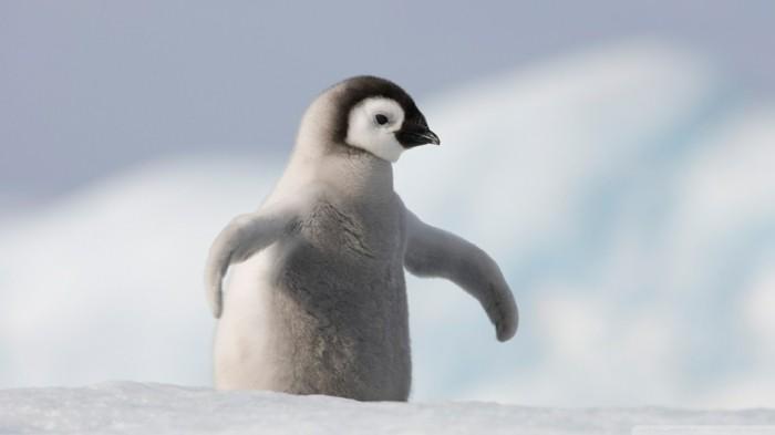 ou-vivent-les-pingouins-petit-manchot-penguin-mignon